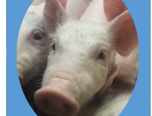 Lean is the way to go in Pigs, and not just on the Plate